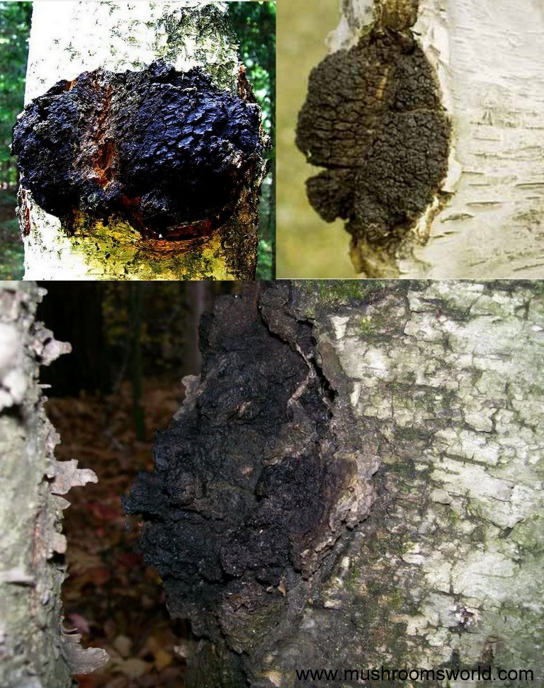 how to make chaga tea for cancer